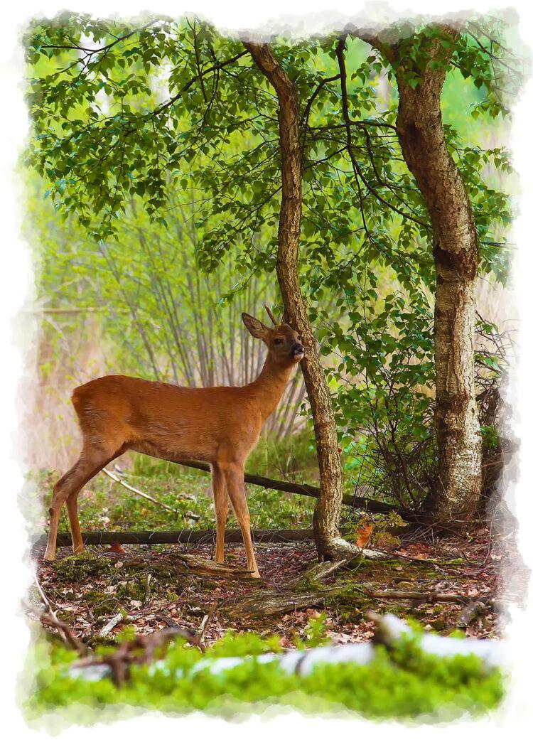 2 Jarig bokje vegend tegen berkeboom